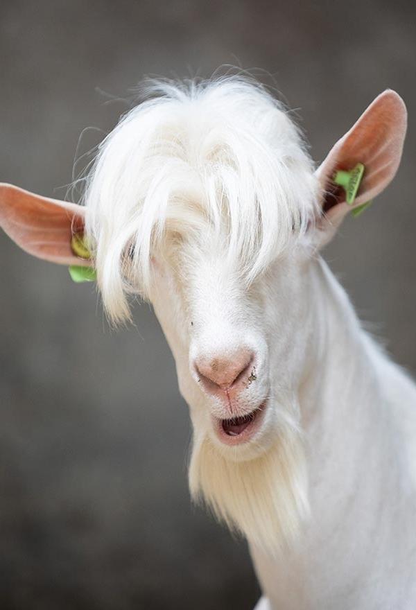 Gedomesticeerde geit