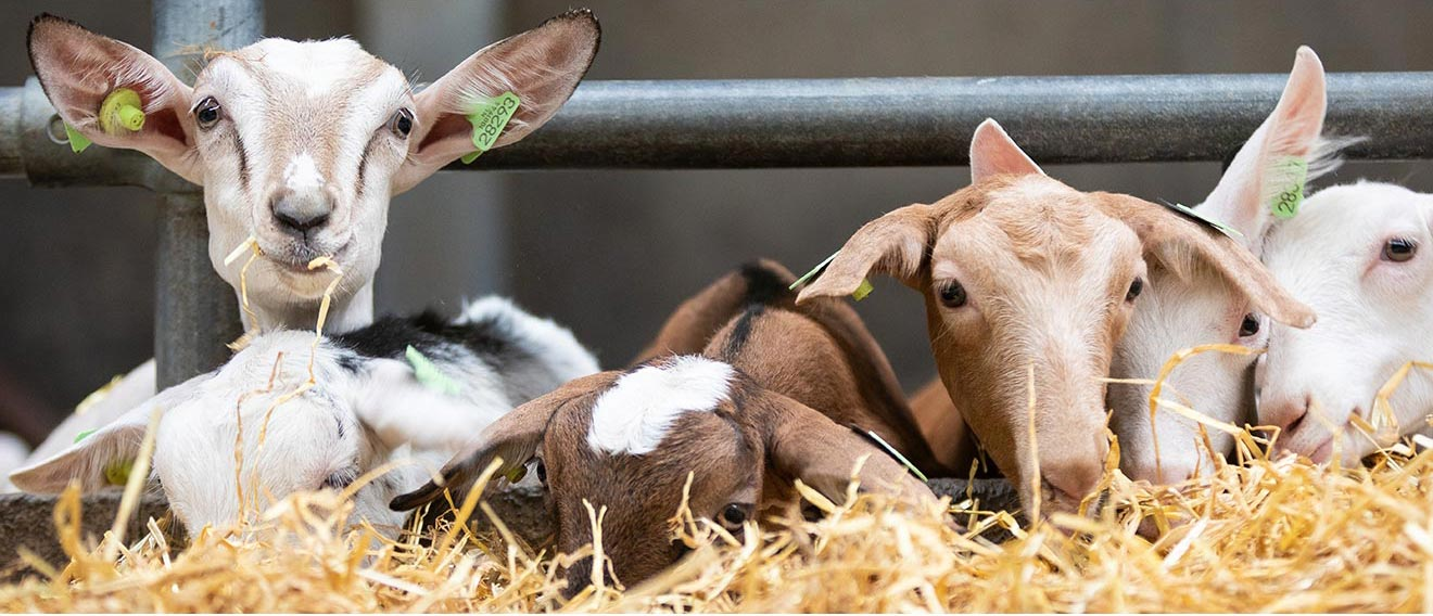 geiten op een rij