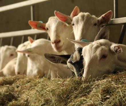 Wat eet de geit